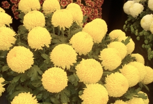 RHS Tatton Chrysanthemum