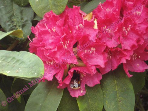 Original Minnie Bee on Rhododendron